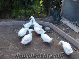 Yeni yumurtlamaya başlayan pekin ördekleri