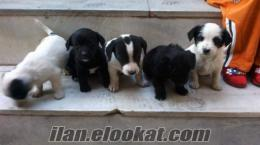 satılık terrier yavruları.