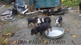 Safkan bulgaristandan gelen köse barak-kopoy 2aylık yavrular
