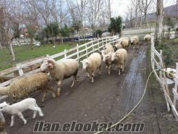 satılık kıvırcık koyunlar