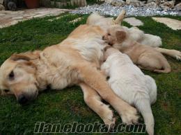 süper golden yavruları. ..izmirden pet Shop fiyatina....