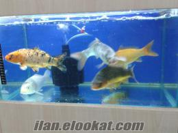 çok kalite koi japon balıklarl