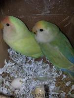 çok ucuz 2adet sevda papağanı+2 adet kafes birlikte satılık