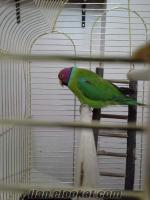 İstanbul Gaziosmanpaşada erikbaş papağan