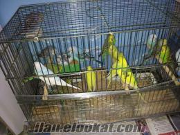 Satılık Muhabbet Kuşları(Jumbo, Jumbo kırığı, çek yavruları)
