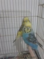 hobiciden acil bir çift jumbo muhabbet kuşu