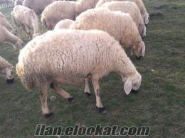 satılık kangal koyun satılık