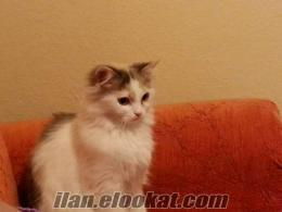 10 aylık iran kedisi
