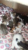 ankarada ücretsiz yavru kediler
