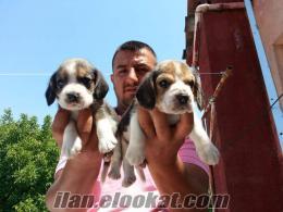 satılık yavru köpekler. satılık yavru beagle yavruları üretim çiftliginden