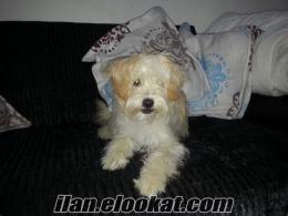 Maletese Terrier 1 yaşında dişi