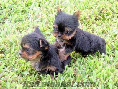 satılık yorkshire terrier yavruları (2 tane)