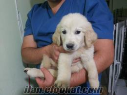Golden Retriever Yavrusu