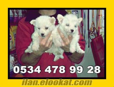 satılık terier yavruları