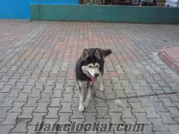sibirya kurdu acil satılık