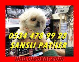 BEYAZ PEKİNESLER ŞANSLI PATİLER DE