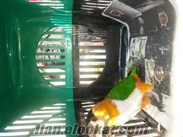 İzmirde caigue parrot