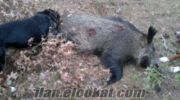 çanakkade sahibinden satılık domuzcu av köpegi.
