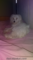 ankaradan ücretsiz 6 aylık terrier