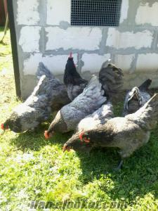 AUSTRALORP TAVUK VE CİVCİV LIGHT SUSSEX