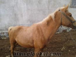 rahvan atlar Erzurumda