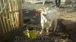 bolu dasahibinden satılık 2 adet gebe saanen keçisi ve 1 adet dişi golden köpek