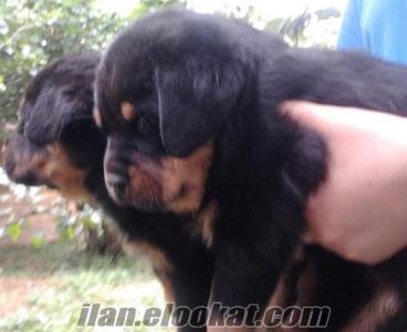 satılık rot, rottweiler, rotfaydır, rotvaydır, yavru, yavrusu, yavruları d