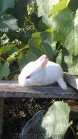 boluda tavşan yavruları