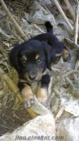 Satılık av köpeği yavrusu