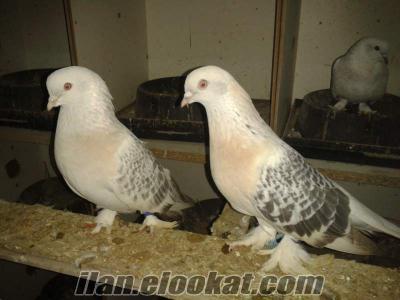 satılık güvercin kümesi