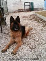 Düşük Bel Alman Çoban Köpeği Yavrusu