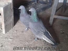 satılık sivas oyun kuşu