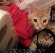 safkan kedim satılık ( aynı kedidir )