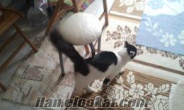 İstanbul Yenibosnada 8 aylık ev kedisi çok iyi bakabilicek birini arıyorum
