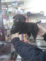 satılık siyah terrier yavrumuz