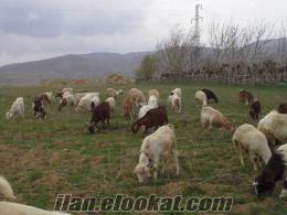 satılık mantıs ve mantıs kırması 50 adet keçi