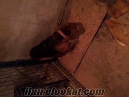 tavşancı domuzcu av köpeyi