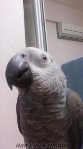 bakırköy Zuhuratbaba mahallesinde kayıp jako papağanı
