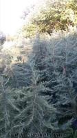 süs bitkileri çam fidanı ıhlamur fidanı çeşitli fidanlar