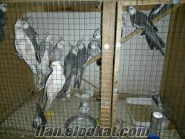 satılık papağanlar