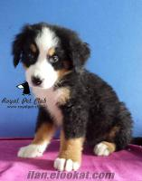 SATILIK BERNESE DAĞ KÖPEĞİ - Royal Pet Club