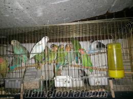 sevda papağan ı yerli