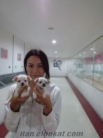 Bursa K9 garantisi ile satilik safkan anne alti 38 gunluk Chihuahualar