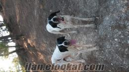kütahyada sahibinden satilık pointer av köpeği karakafa ingliz