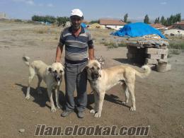 Kayseride has Satlık kangal çoban köpek yavruları