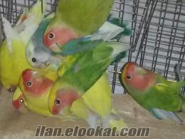 izmirde sultan papağan ı ve sevdalar
