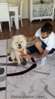 Ankaradan Beyaz Çhow Çhow Çin Aslanı