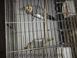izmirde sultan papağan ı esli