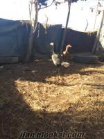satılık damıkzlık hint tavukları