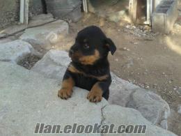 Rottweiler köpeğimi satmak istiyorum